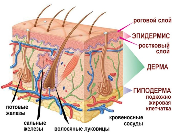 Эпидермис имеет пять слоев ткани