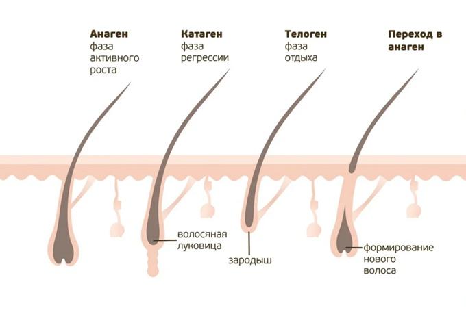 Фазы и особенности роста бровей